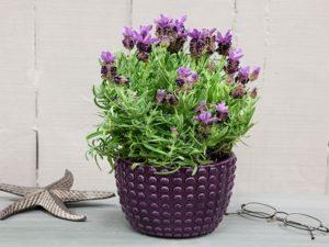 bunga pengusir nyamuk lavender