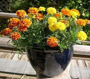 Bunga Pengusir Nyamuk Marigold
