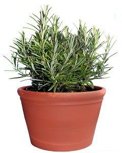 Rosemary dalam Pot (statebystategardening.com)