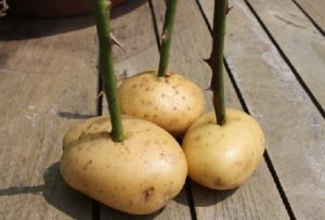 cara menanam bunga mawar stek di kentang